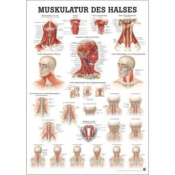 Lamineret muskelplakat om halsens muskler på latin & tysk