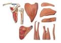 Avanceret skuldermodel med alle muskler i skulderen - kan adskilles i 10 dele