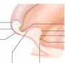 Lamineret plakat om øre-akupunktur på engelsk