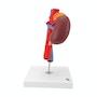 Nyrer model med blodårer