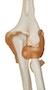 Fleksibel albuemodel med ledbånd og yderst realistiske knogler