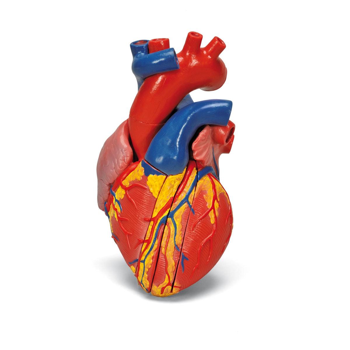Hjertemodel med fokus på de 4 hjerteklapper og afstøbt efter et ægte hjerte