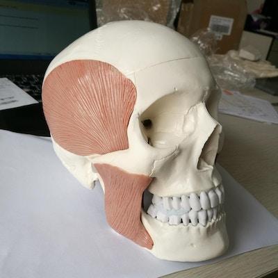 Kraniemodel inkl. alle tyggemusklerne. Kan adskilles i 10 dele