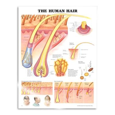 Lamineret plakat om menneskets hår på engelsk