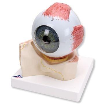 Øjemodel 5 x normalstørrelse i 7 dele