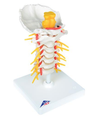 Fleksibel model af halshvirvelsøjlen med hjernestammen, spinalnerver og a. vertebralis