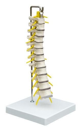 Thoracalis - del af columna på stativ