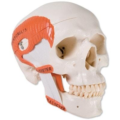 Praktisk og pædagogisk kraniemodel til demonstration af de 4 tyggemusklers funktion