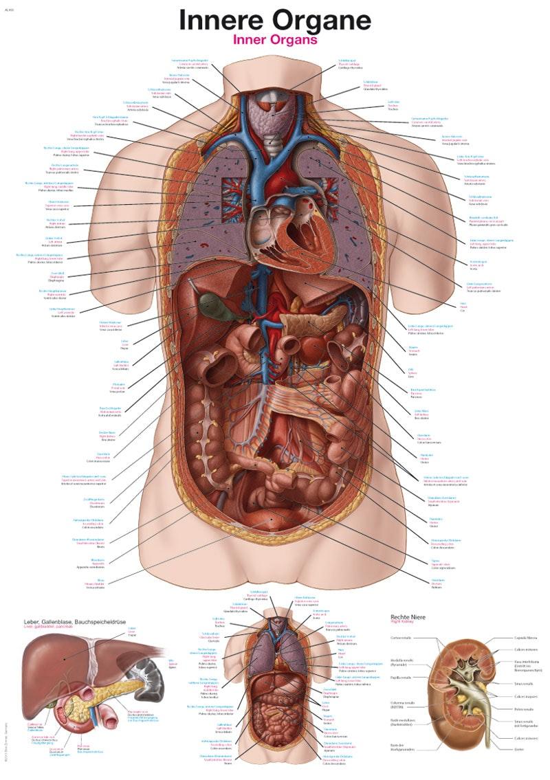 Plakat om kroppens indre organer på på tre sprog