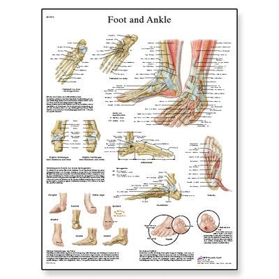 Fod og ankel anatomi og patologi lamineret plakat (Foot and Ankle) 51x67 cm