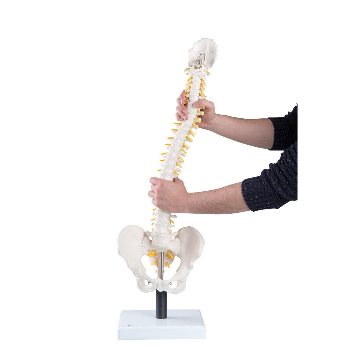 Fleksibel model af rygsøjlen med ekstrabløde diskus, nerver m.m. præsenteret på stander
