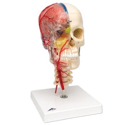 Komplet kraniemodel som viser hjernen, hjernens blodforsyning og halshvirvlerne. Kan adskilles i 7 dele