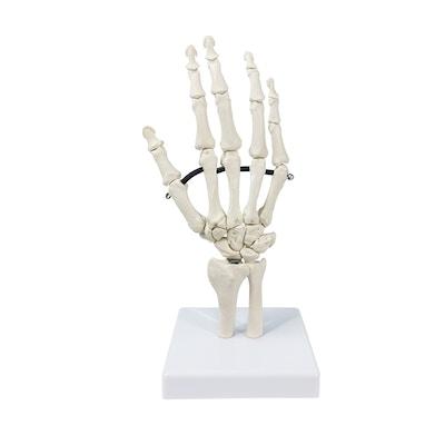 Model af håndskelettet med del af ulna og radius