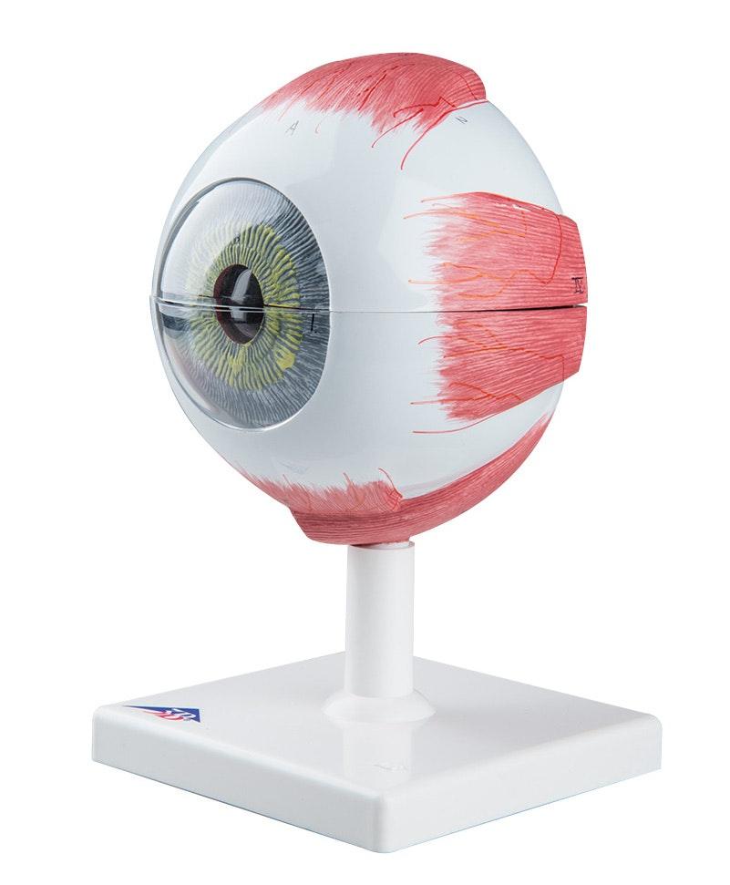 Øjemodel 5 x normalstørrelse i 6 dele