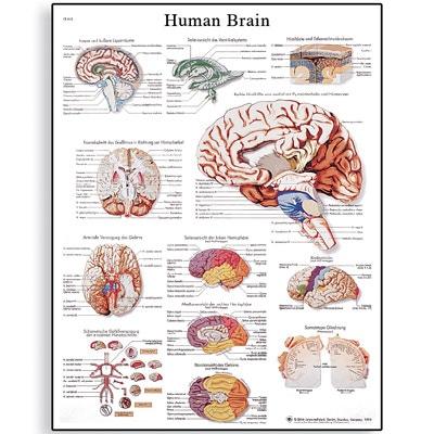 Hjernen lamineret plakat (Human Brain) 51x67 cm