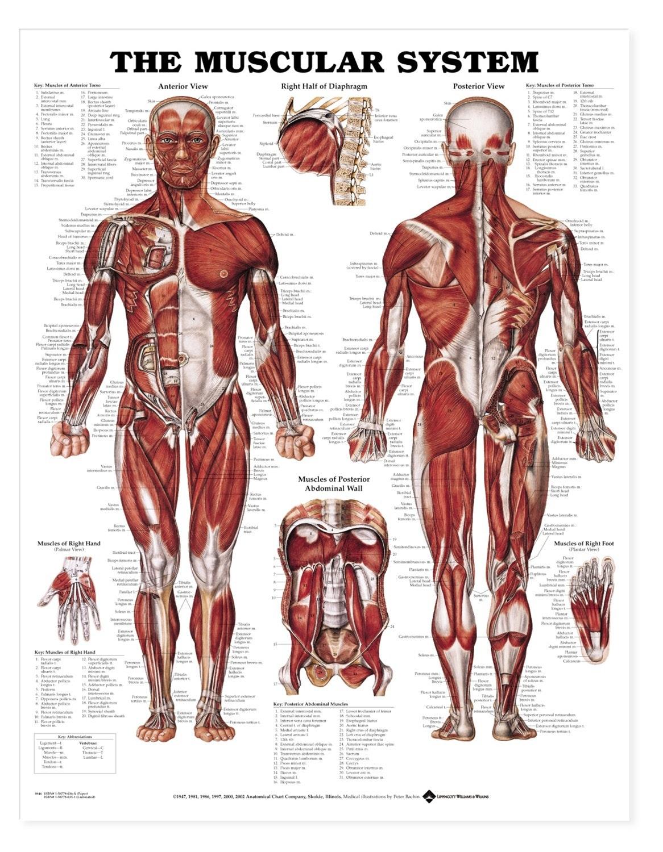 muskelplakat i hård plast med ringhuller (muscular system styrene plastic)