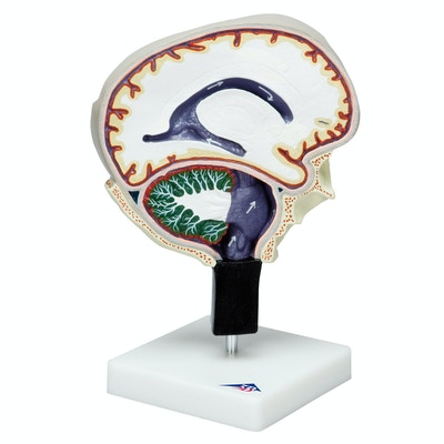 Cerebrospinal væske cirkulations model