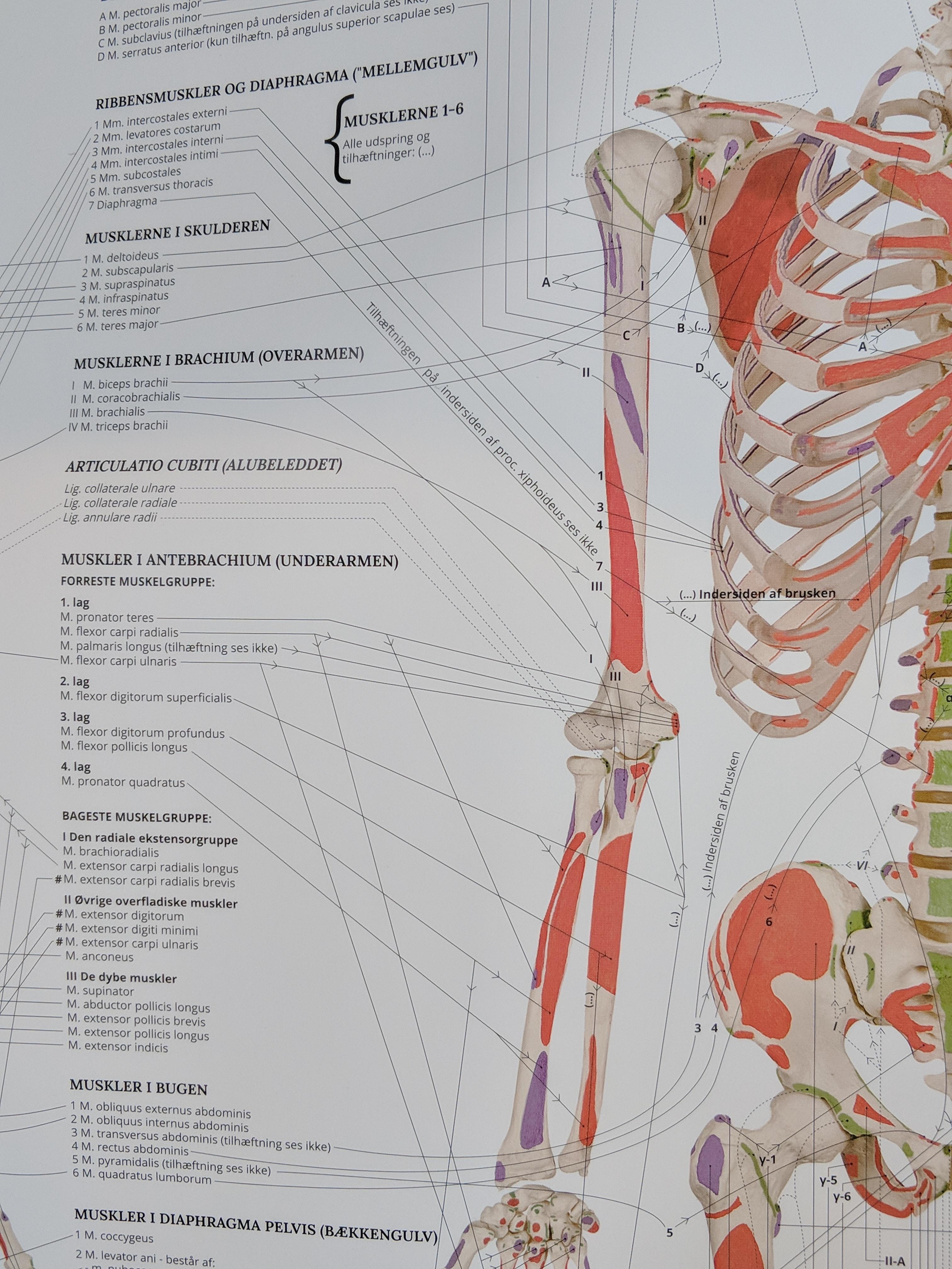 Bevægeapparatets Anatomi på både dansk & latin