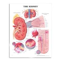 Plakat om nyren på engelsk