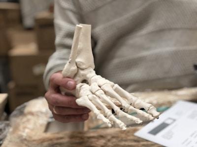 Fleksibel model af fodens skelet samt lidt af skinne- og lægbenet præsenteret på aftagelig stander