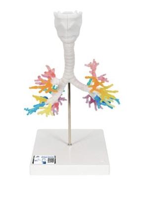 CT bronkier med strube, 3D model via tomografisk data