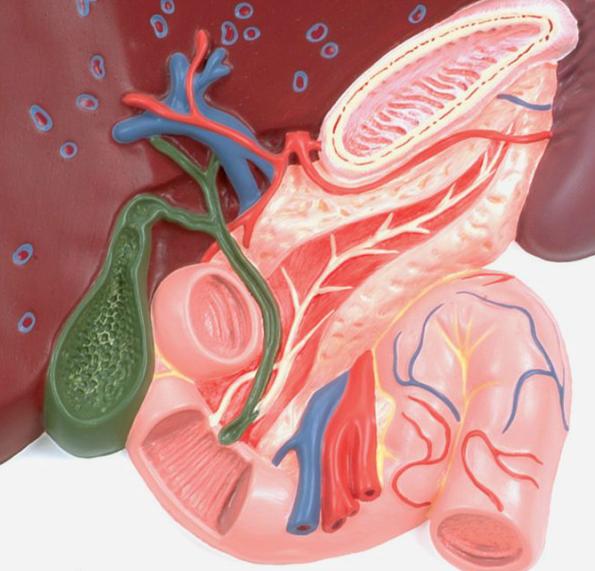 Model af leveren, galdeblæren, galdevejene og relaterede organer