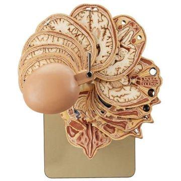 SOMSO Horisontalt skåret model af hovedet