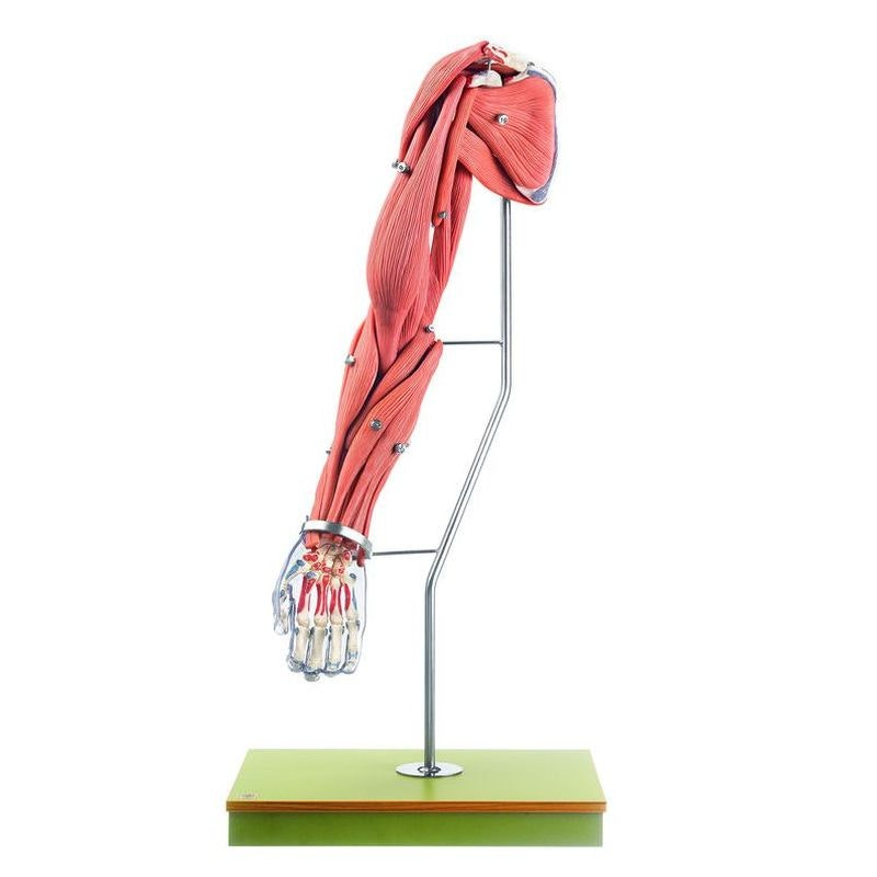 Komplet og detaljeret model af arm med muskler - kan adskilles i 24 dele