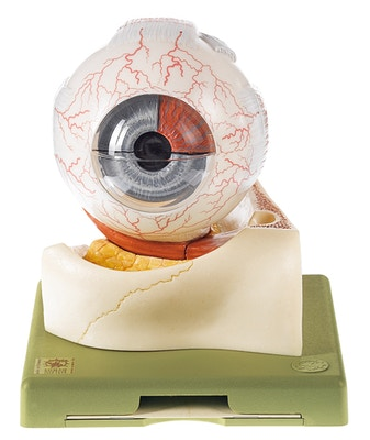 SOMSO Øjeæble model, 7 dele