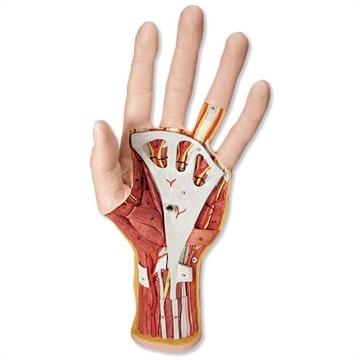 Avanceret håndmodel med 2 aftagelige dele