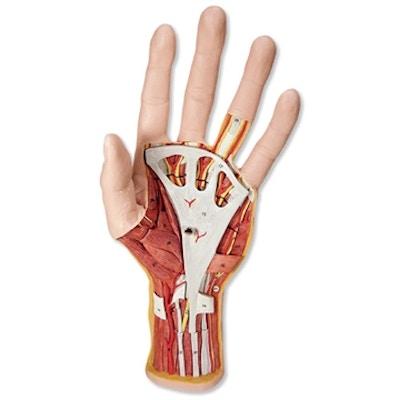 Komplet håndmodel med hud, muskler, sener, kar og nerver - kan adskilles i 3 dele