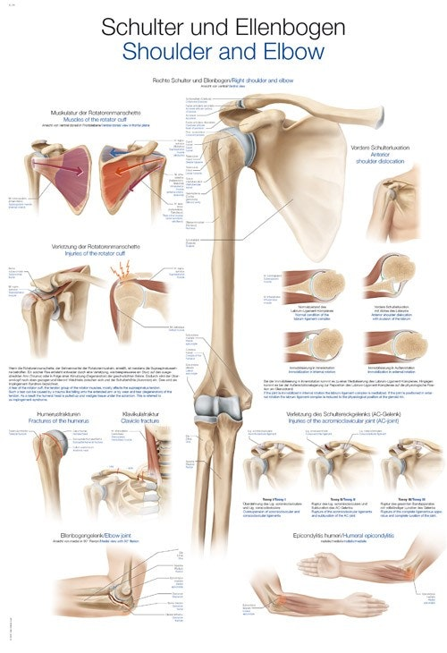 Lamineret plakat om skulderen og albuens anatomi & skader på tysk og engelsk