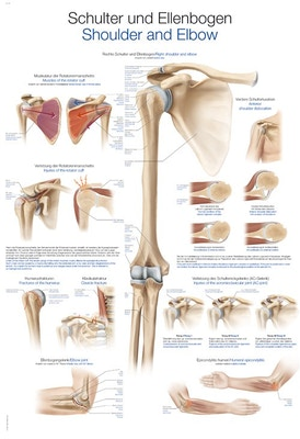 Laminerad plansch med axelns & armbågens anatomi & skador tyska & engelska