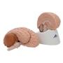Hjernemodel med et mindre naturtro udseende. Kan adskilles i 8 dele
