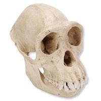 Sjimpansekranie (Pan troglodytes), hunnkjønn