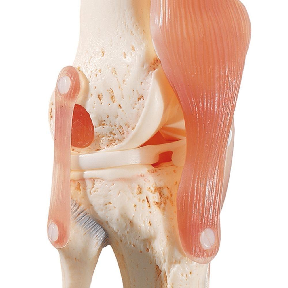 Særlig fleksibel knæmodel med ledbånd samt yderst realistiske menisker og knoglevæv