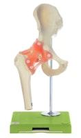 Fleksibel hoftemodel med ledbånd og yderst realistisk knoglevæv