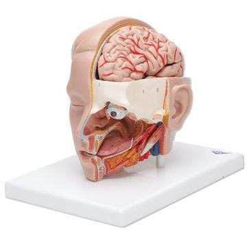 Hovedmodel med 4-delt hjerne