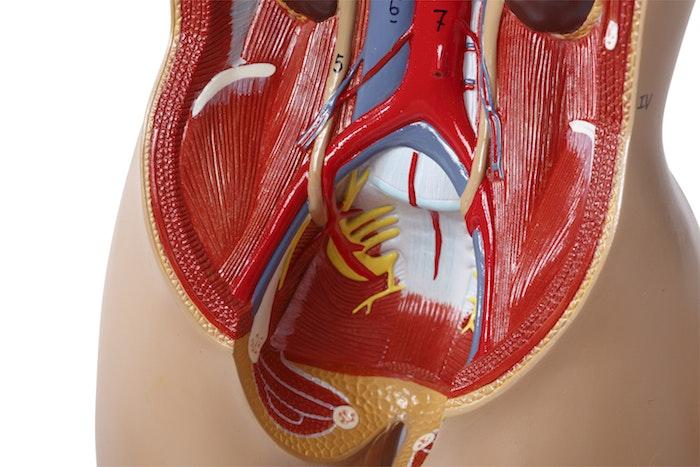 Meget detaljeret mini torso med 15 udtagelige dele og udskiftelige kønsorganer