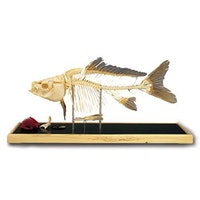 Fish skeleton - Carp (Cyprinus carpio)