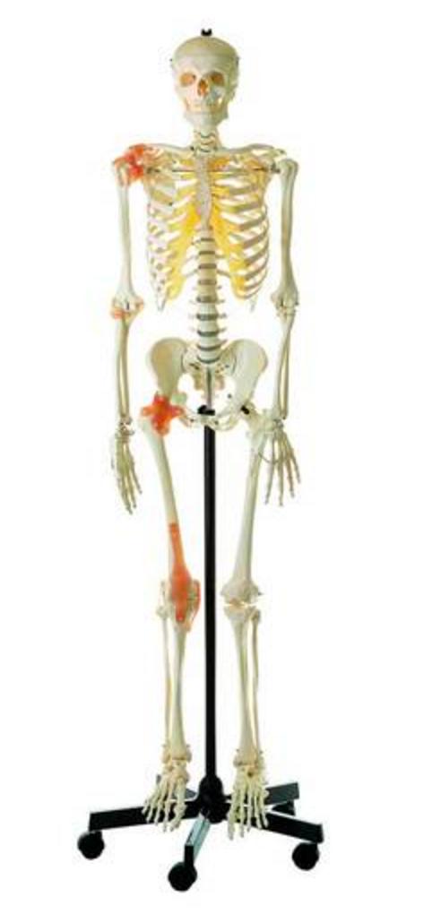 SOMSO mandlig skeletmodel med ledbånd