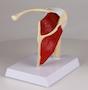 Axelmodell med muskler och ligament