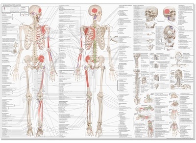 The MuscoloSkeletal System poster EA1