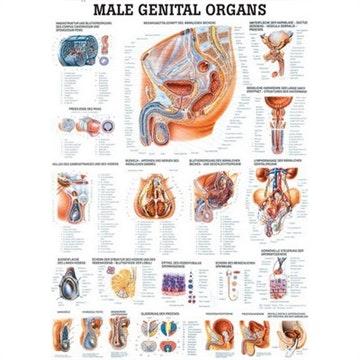 De mandlige kønsorganer lamineret engelsk med sorte metallister