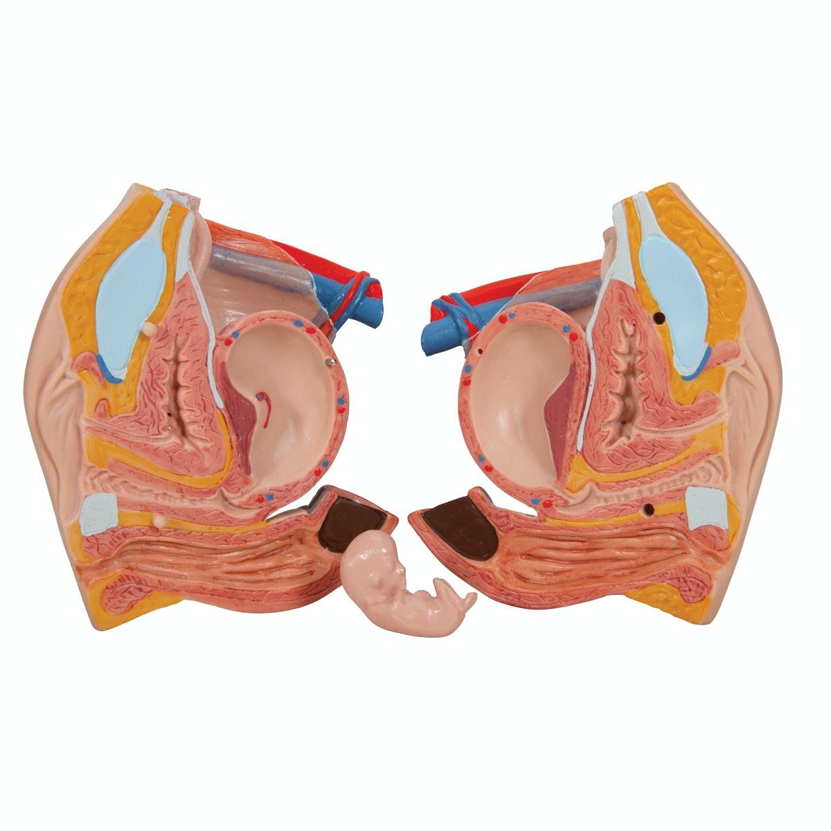 Avanceret muskel torso i 31 dele