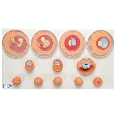 Embryonal udvikling i 12 stadier