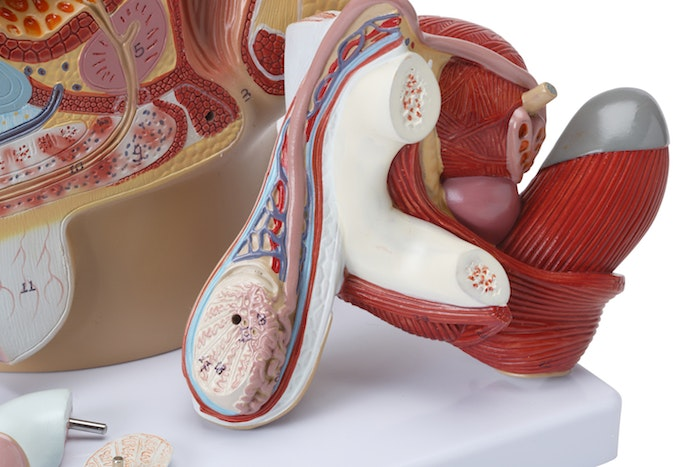 Mandlige kønsorganer og bækken