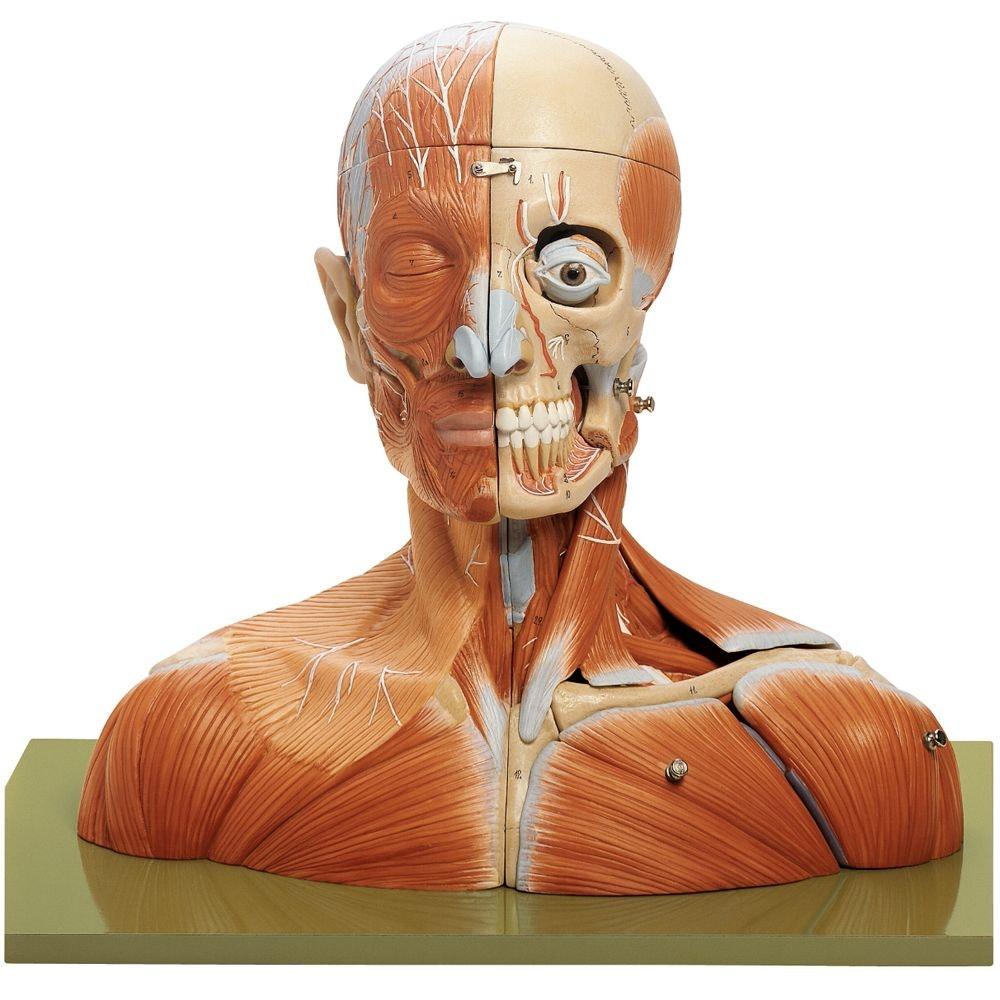 SOMSO Hoved og hals