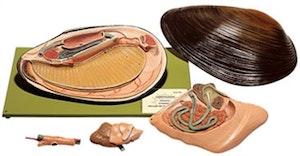 Musling (Anodonta cygnea) i højeste kvalitet og forstørret. Kan adskilles i 5 dele