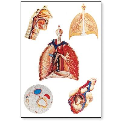 Plakat om åndedrætsorganerne (med trælister)